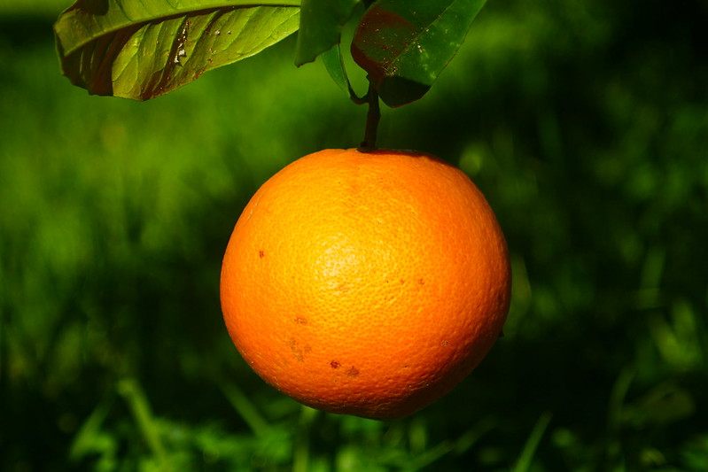 A low-hanging orange at the western-most vineyards in Europe near Lisbon, Portugal.