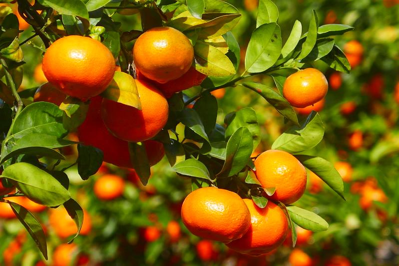 An orange grove near the Roman ruins at Milreu in the Algarve, Portugal.