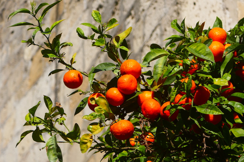An orange tree at the base of the walls of Lisbon's cathedral.