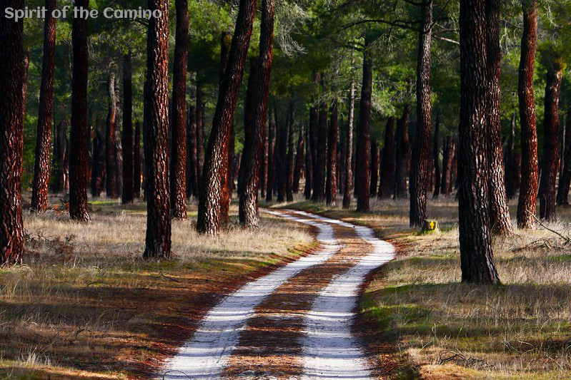 In the first few days on the plains north of the mountain pass, the camino often takes pilgrims on sandy trails through pine forests just like this one.