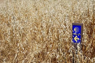 Overgrown wheat stalks and the Camino de Santiago in the Alentejo.