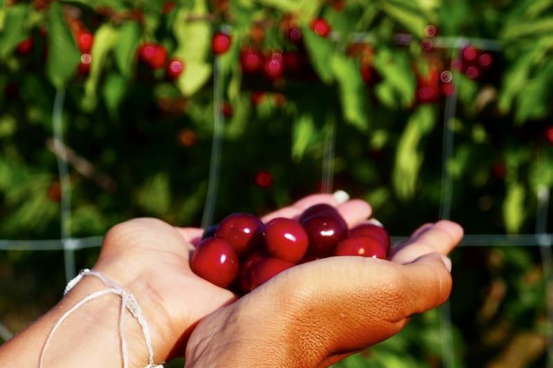 Wendy with all the cherries she can hold.